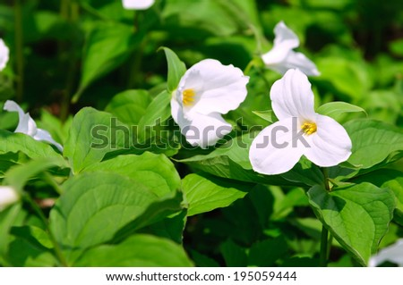 White Trillium flowers, Ontario, Canada - stock photo