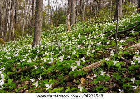 White Trilliums growing on a wooded Hillside. Trillium grandiflorum is the official emblem of the Province of Ontario and the State Wildflower of Ohio.  - stock photo