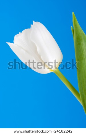 White Tulip against Blue Background