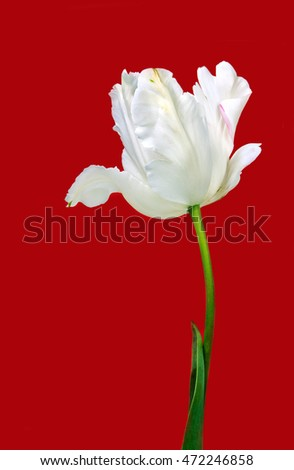 White tulip on red background