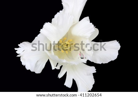 White tulip on the black background