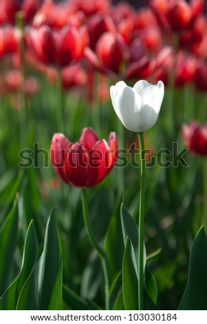 White tulip on the red tulips field