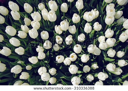 White tulips background, top view