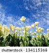 White tulips blooming in spring sunny weather - stock photo