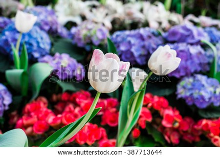 White tulips flower field blooming in the garden.beautiful tulips flower background. - stock photo