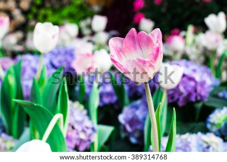 White tulips flower field blooming in the garden.purple tulips flower field blooming in the background. - stock photo