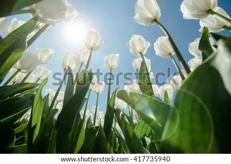 White tulips flowers growing over blue sky background. Wide angle view with sunny flair, photographed from below. - stock photo
