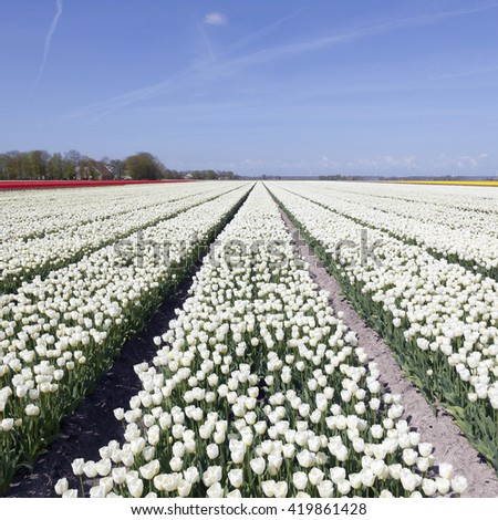 white tulips in colorful landscape of noordoostpolder with blue sky in the netherlands - stock photo