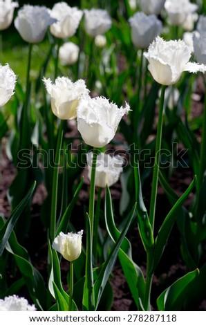 white tulips in the garden - stock photo