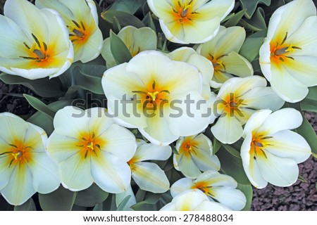 White tulips on the flowerbed. The quality of medium format - stock photo