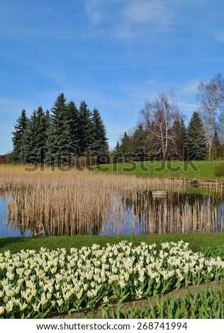 white tulips on the pond, spring - stock photo