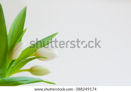 White tulips on white background for mock ups, templates, greeting cards