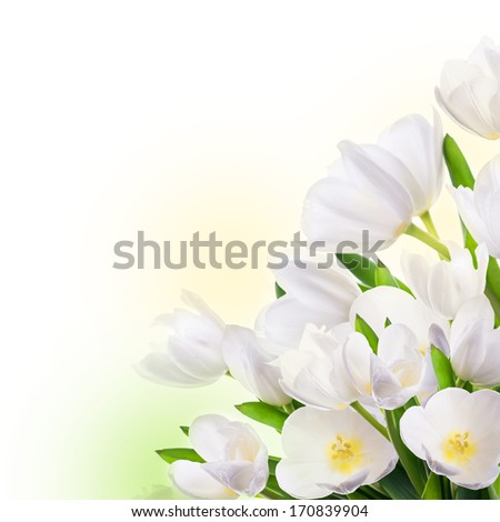 White tulips with green grass. Floral background.