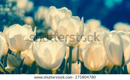 White tulips with soft focus and bokeh effect, toned with vintage instagram filter effect. Spring flowers of retro style. - stock photo