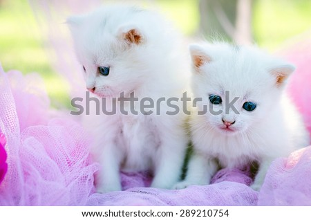 white two kitten on the pink background with flowers