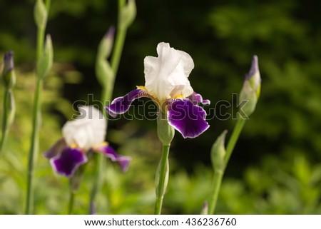 White-violet iris flower blooming on spring in the garden - stock photo