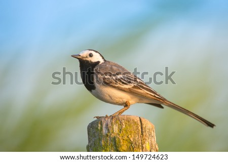 White Wagtail at sunset