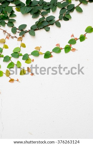 white  wall with ivy plant - stock photo