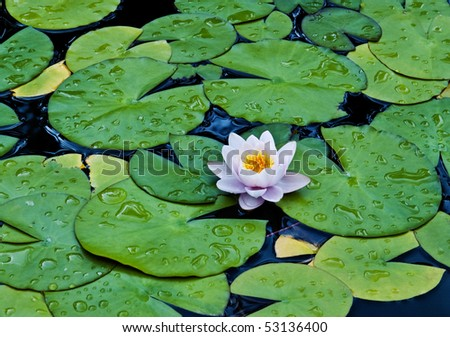 White water lilies and green leaves in a dark pond