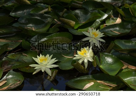 White water lilies float on top of a koi pond in Southern California - stock photo