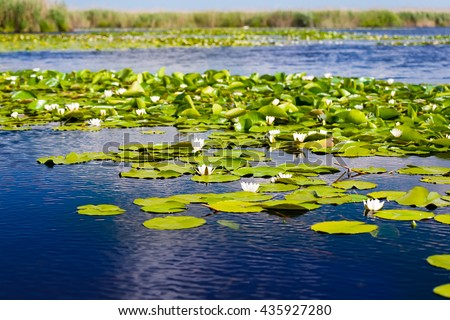 White water lilies in the Danube delta, Romania