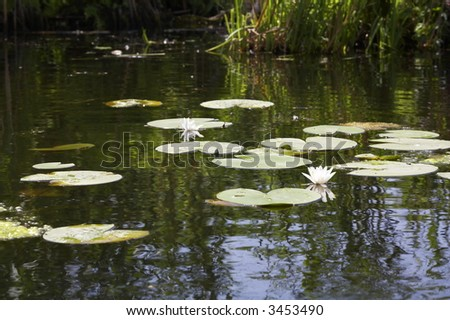 white water lillies (Nymphaea alba) in bloom on the lake - stock photo