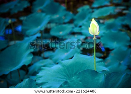 white water Lilly in blue lake - stock photo