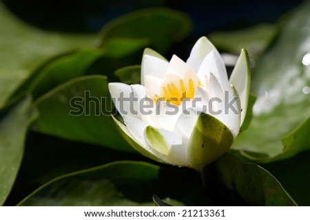 white water lilly on the lake (Nymphaea alba) - stock photo