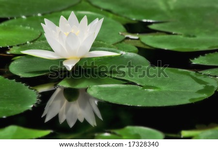 White water lily among green leafs on the pond surface in botanical garden. - stock photo