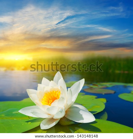 white water lily at the evening - stock photo