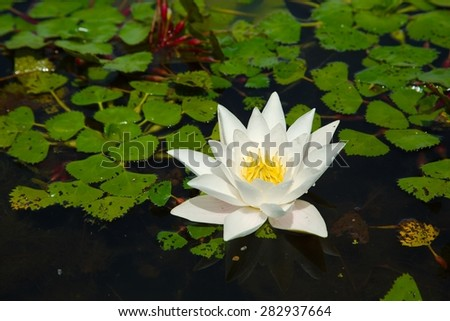 White water lily closeup in a lake - stock photo