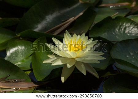 White water lily floats on top of a koi pond in Southern California - stock photo