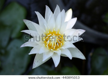 White Water Lily Flowe  Close up