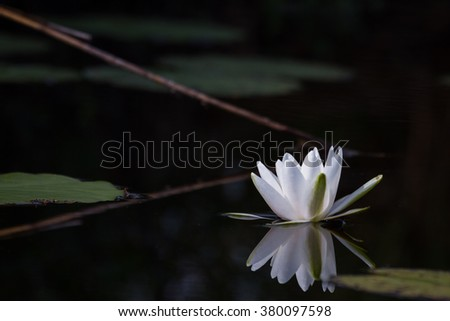 white water lily forest lake  - stock photo