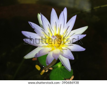 White water lily in a pond. Barra, Inhambane, Mozambique, Southern Africa - stock photo