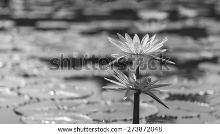 White Water Lily in Monochrome - stock photo
