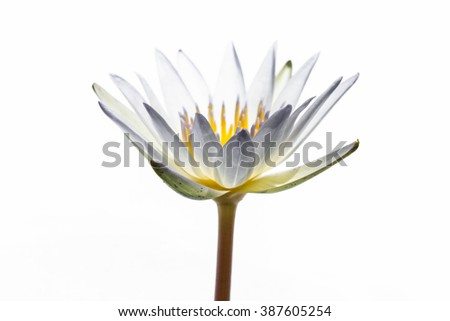 White water lily isolated - stock photo