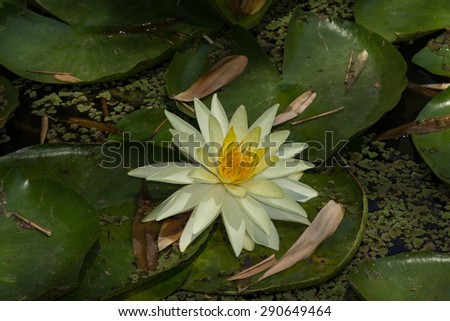 White water lily / lotus floats on top of a koi pond in Southern California - stock photo