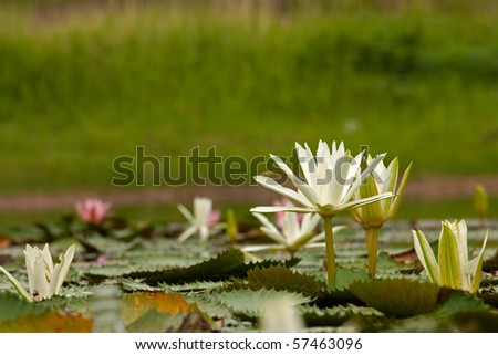 White water lily (lotus) on the lake