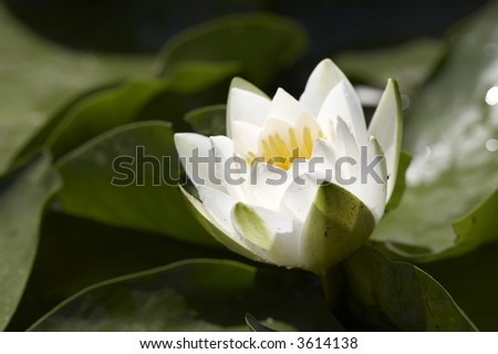white water lily (Nymphaea alba) in bloom on the lake - stock photo