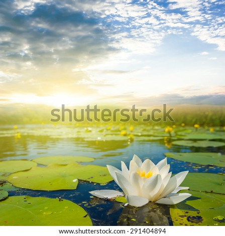 white water lily on a evening river - stock photo