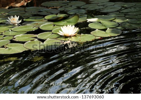 White water lily on the lake - stock photo