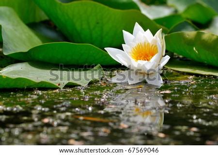 white water lily on the lake (Nymphaea alba) - stock photo