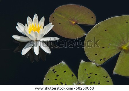 White water lily with lily pads - stock photo