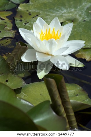 White waterlily and curled leaf - stock photo