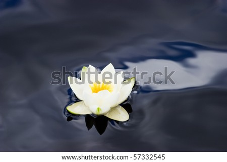 White Waterlily in a pond