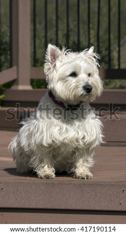 White West Highland terrier dog sitting outside on a deck