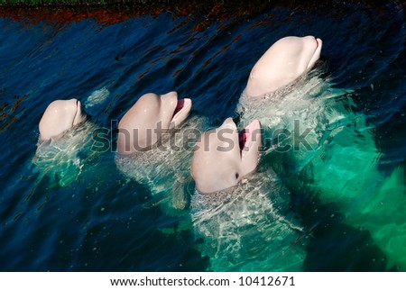 White whales in the sea - stock photo