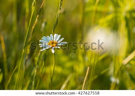 White wild camomile flower growing on meadow. Natural background with wild flowers - stock photo