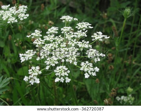 White wild flowers meadow nature background